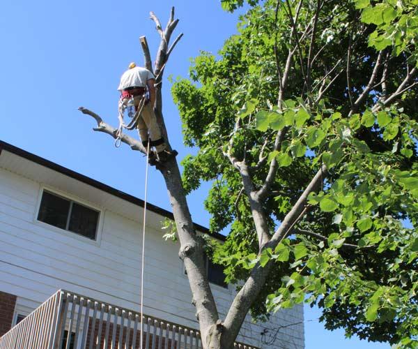 Tree Removal   Greens Keeper Turf & Tree